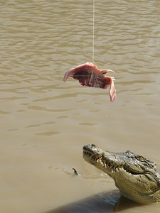 A little bit of meat tempts the crocodiles to come out!