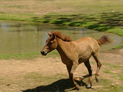 Timor Pony at Territory Wildlife Park, Darwin.