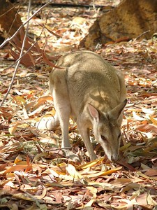 Wallaby at the Katherine Gorge visitor centre