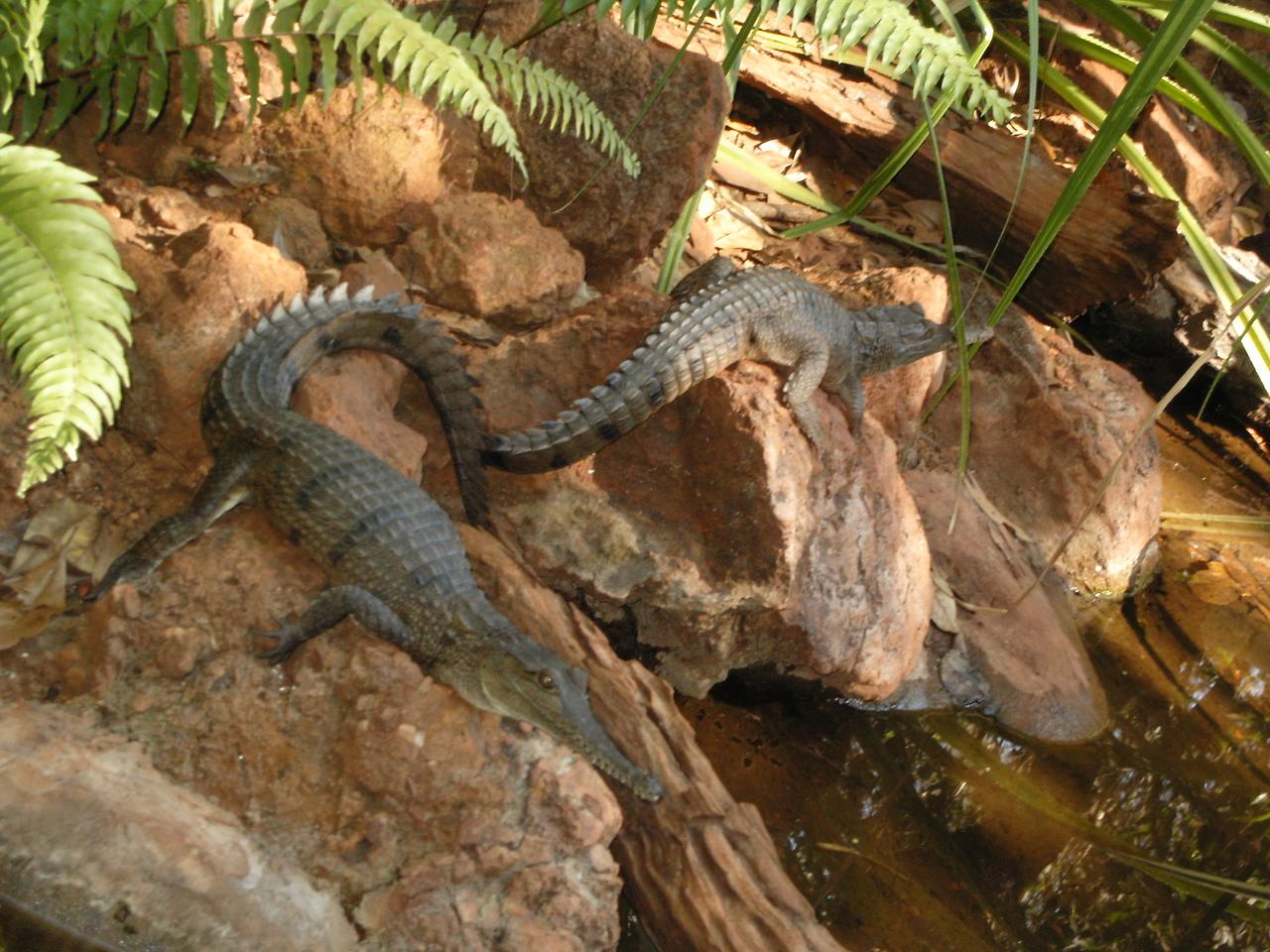 Freshwater alligators at Territory Wildlife Park.