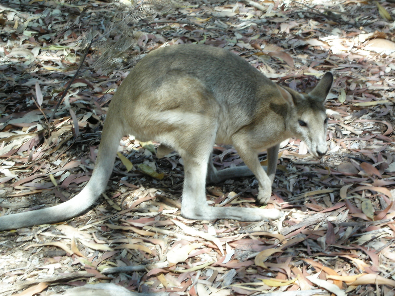 That wallaby at Katherine Gorge visitor centre again!