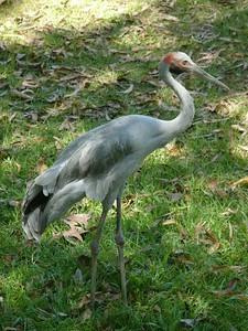 Brolga at Darwin Territory Wildlife Park.