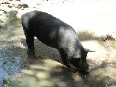 Boar at Territory Wildlife Park.