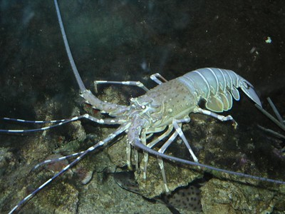Crayfish at Territory Wildlife Park.