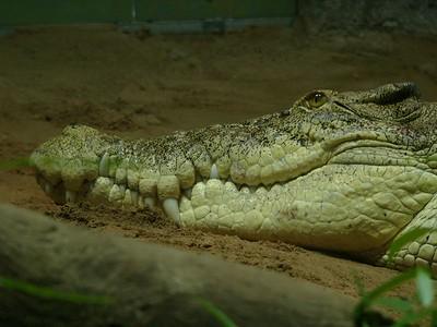 Crocodile in aquarium at Territory Wildlife park.