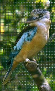 Blue winged Kookaburra at Territory Wildlife Park.