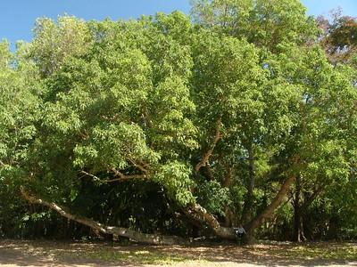 Cluster fig (Ficus Racemosa) at Darwin Botanical Gardens.