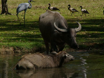 Water buffalo at Darwin Territory Wildlife Park. Magpie geese in the background.