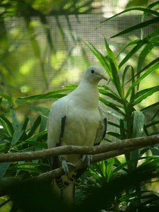 Pied Imperial Pigeon. Territory Wildlife Park.