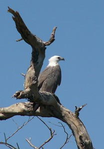 Sea eagle at Yellow Water Billabong.
