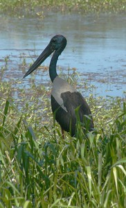 This large bird is a Jabiru at Yellow Water Billabong.
