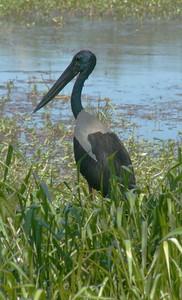 This large bird is a Jabiru at Yellow Water Billabong.