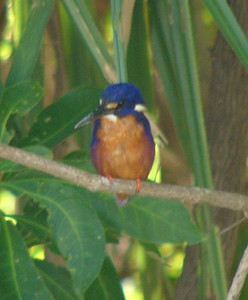 Bird at Yellow Water Billabong. A (sacred?) kingfisher, I think.