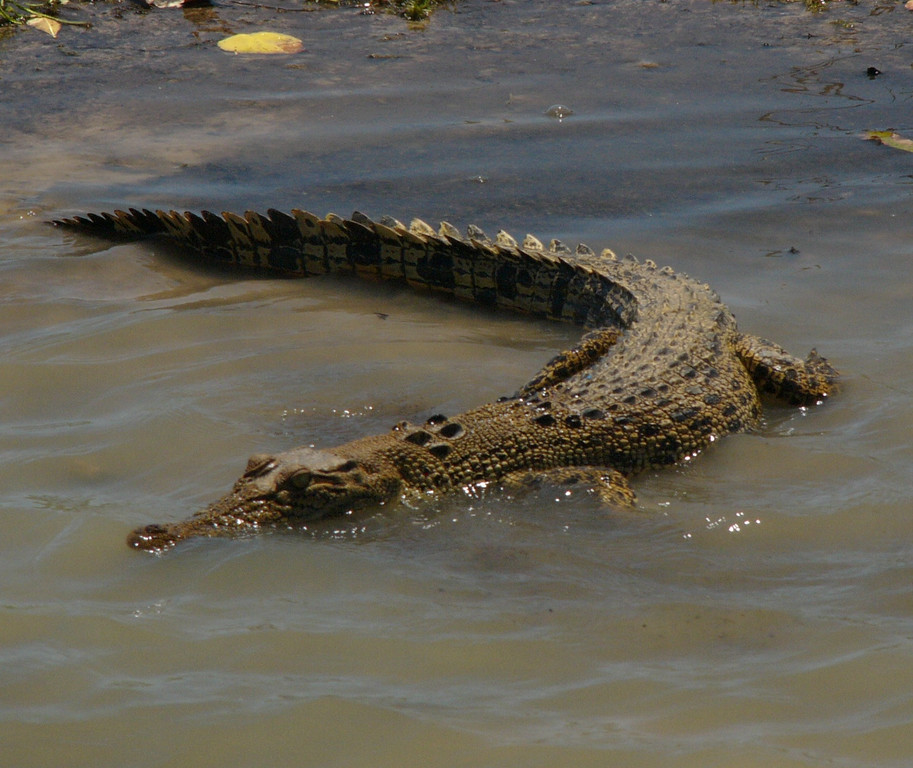 Like other waters in the Northern Territory, there are plenty of crocodiles to be seen. Be careful where you swim, a few people are killed each year by crocodiles. Poisonous jellyfish plague the Northern Territory beaches during certain parts of the year, so perhaps it is best to swim only in swimming pools!