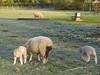"""""""Frozen English Lamb"""""""
