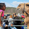 Crossroads Community Church in Fitchburg had an interactive easter experience for the children featuring a live camel and donkey. Chelsea Barnor, 6, of Fitchburg, and a member of the church, tried to get eye to eye with the camel at the event. SENTINEL & ENTERPRISE/JOHN LOVE