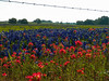 Bluebonnets, indian paintbrush, and barbed wire.