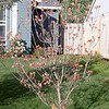 Pink Dogwood Easter morning