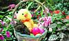 Baby Bunnies in Easter Basket, Dane County, Wisconsin