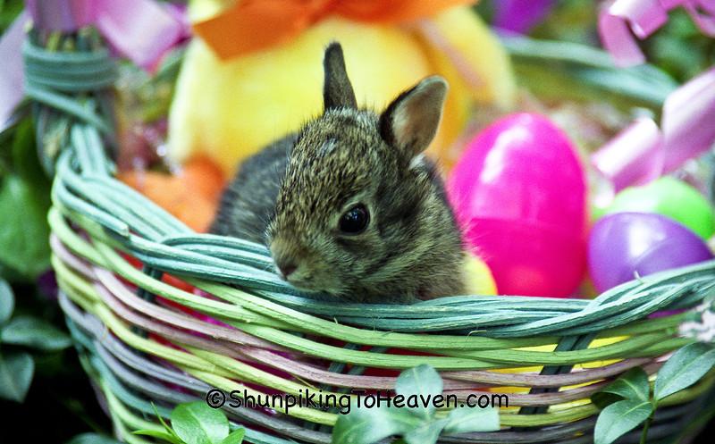 Baby Bunny in Easter Basket, Dane County, Wisconsin