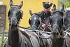 Hungary - Kalocsa - Horse Ranch and Show 169