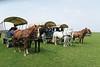 Hungary - Kalocsa - Horse Ranch and Show 380