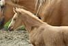 Hungary - Kalocsa - Horse Ranch and Show 019