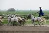 Hungary - Kalocsa - Horse Ranch and Show 243