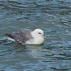 Fulmar in Ilfracombe harbour