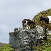 Goats in Valley of Rocks