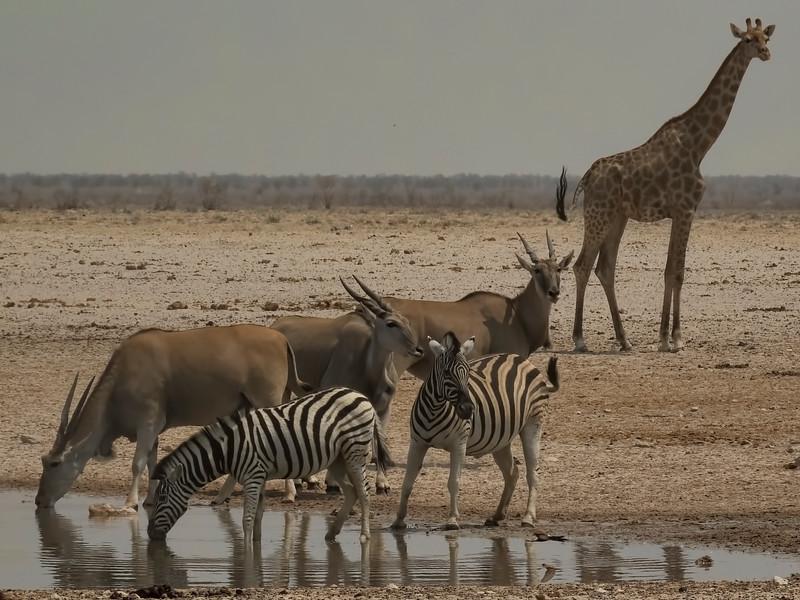 Zebra, Giraffe & Eland