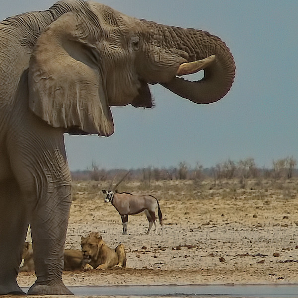 Elephant and Lions