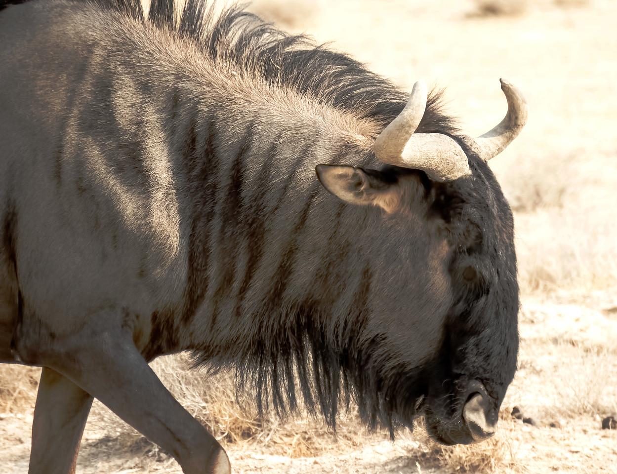 Blue Wildebeest.