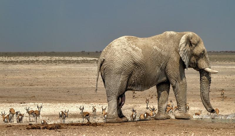 Elephant, Etosha