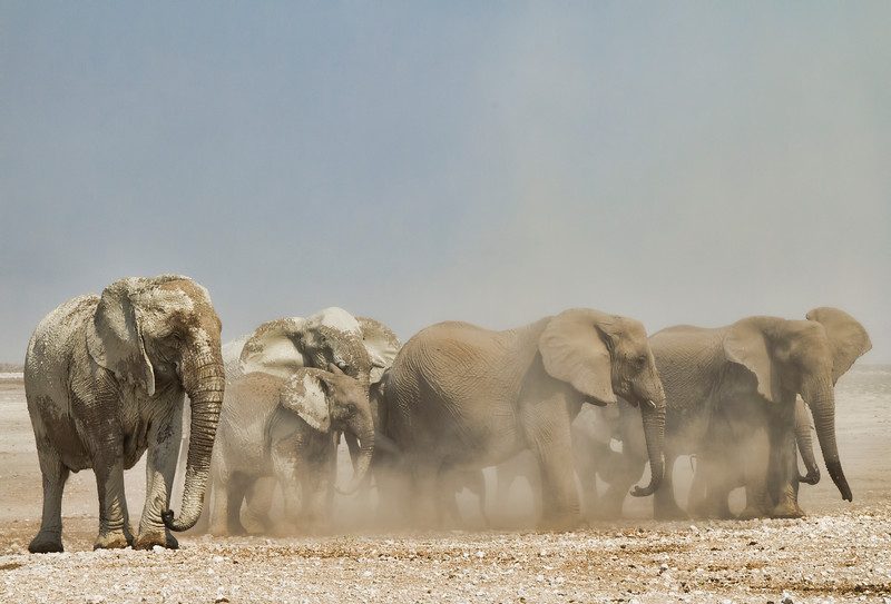 Elephants in disagreement, protecting a baby elephant
