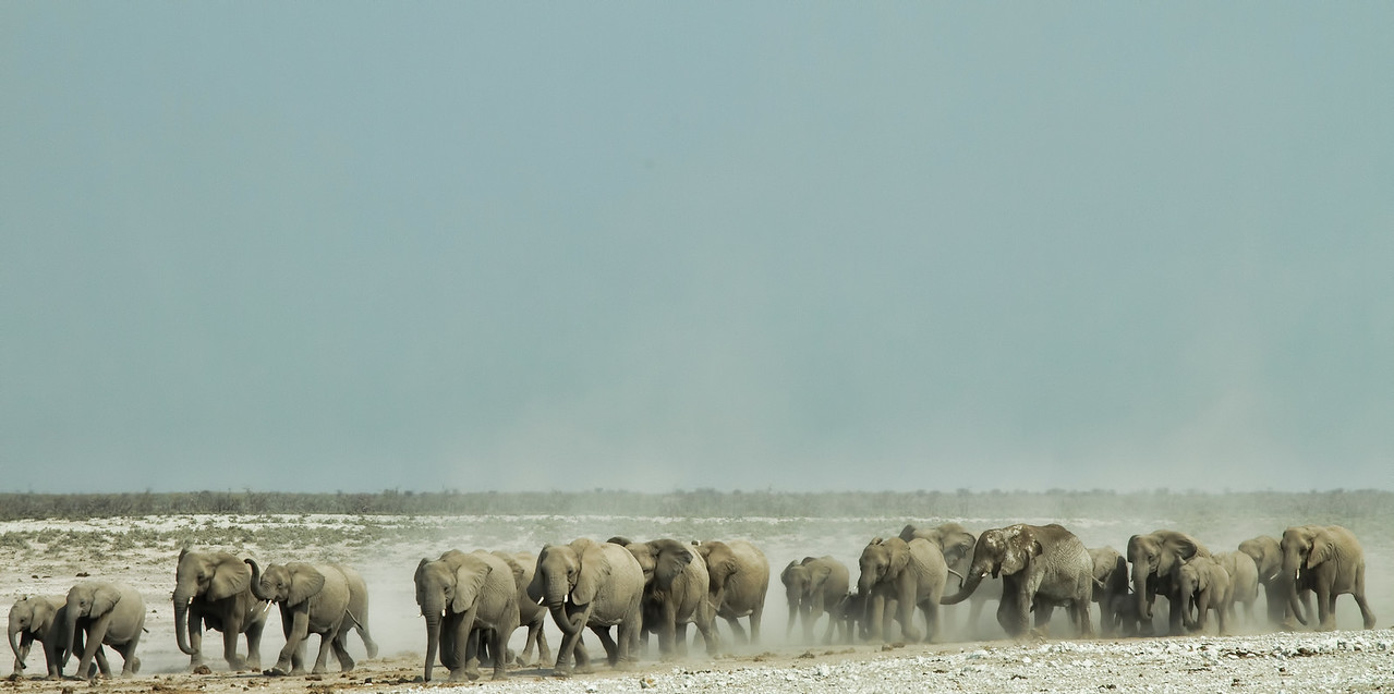 Elephants on their way to the water hole