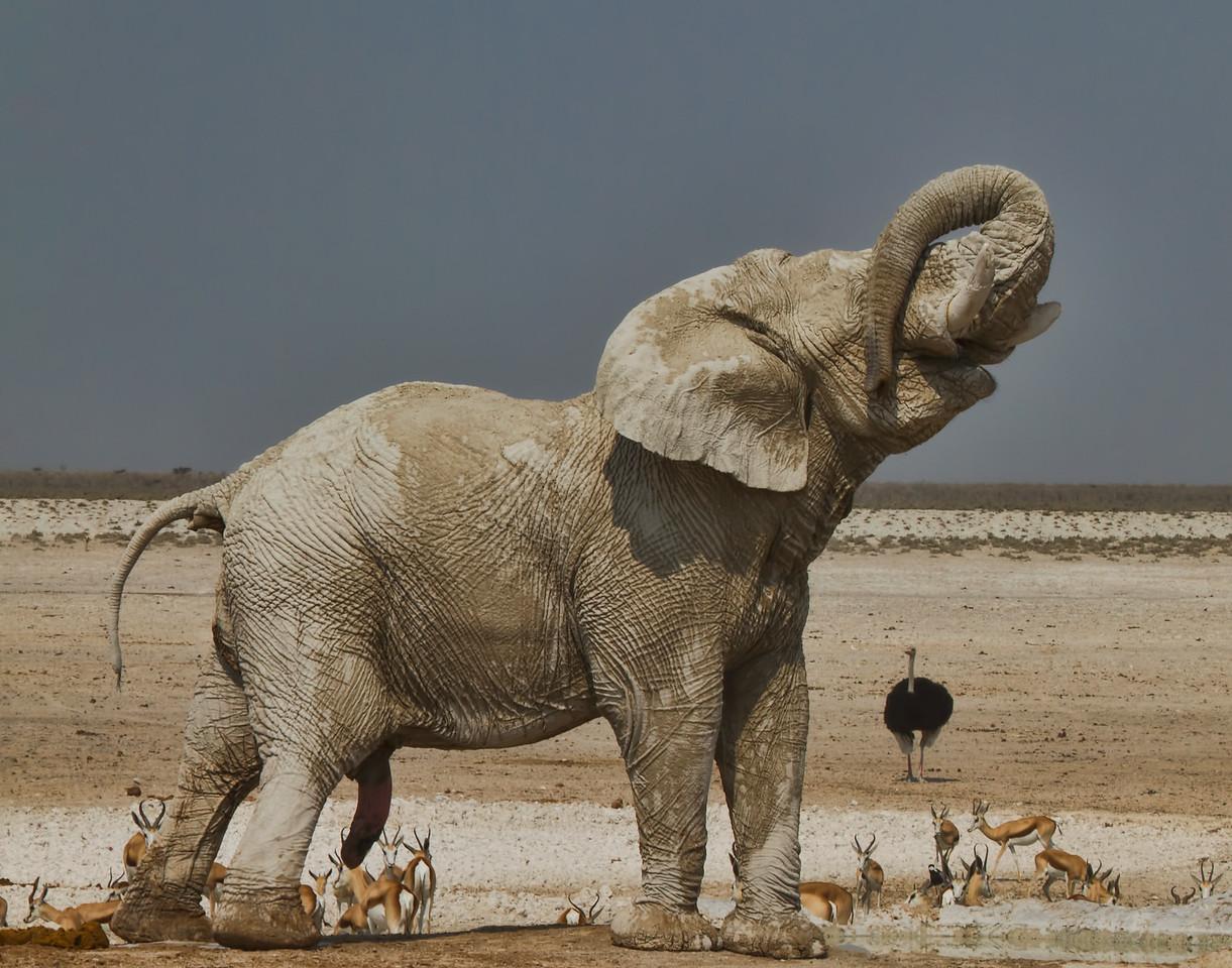 Elephant, Namibia, Etosha