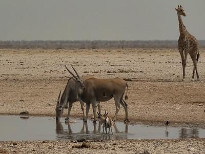 Eland, springbok, giraffe
