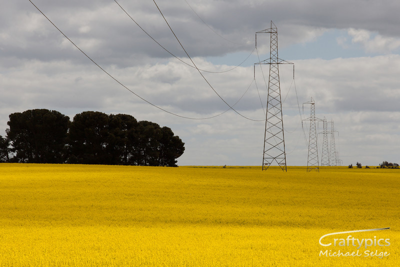 Canola Fields South of Clare