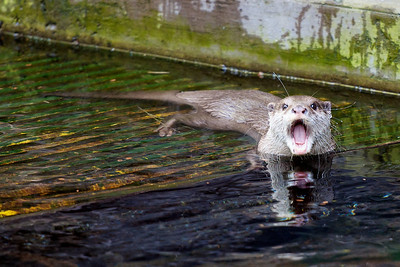 Angry Otter