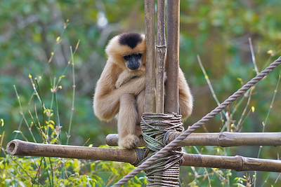 Lonely Gibbon