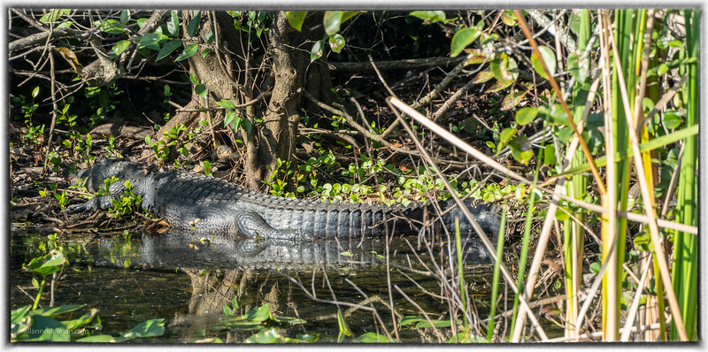 Alligator Along Road in Everglades