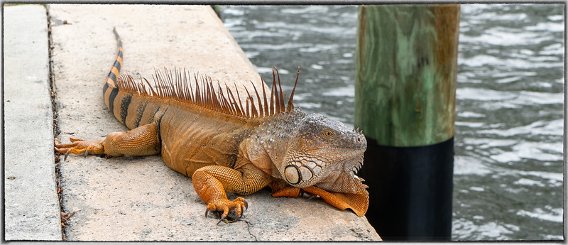 Iguana on Riverwalk in Fort Lauderdale