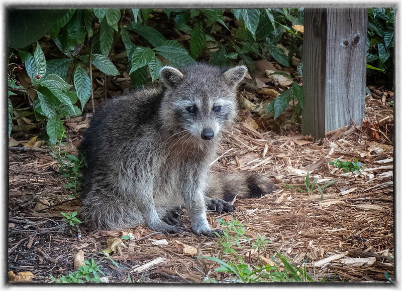 Racoon in Hugh Taylor Birch State Park in Fort Lauderdale