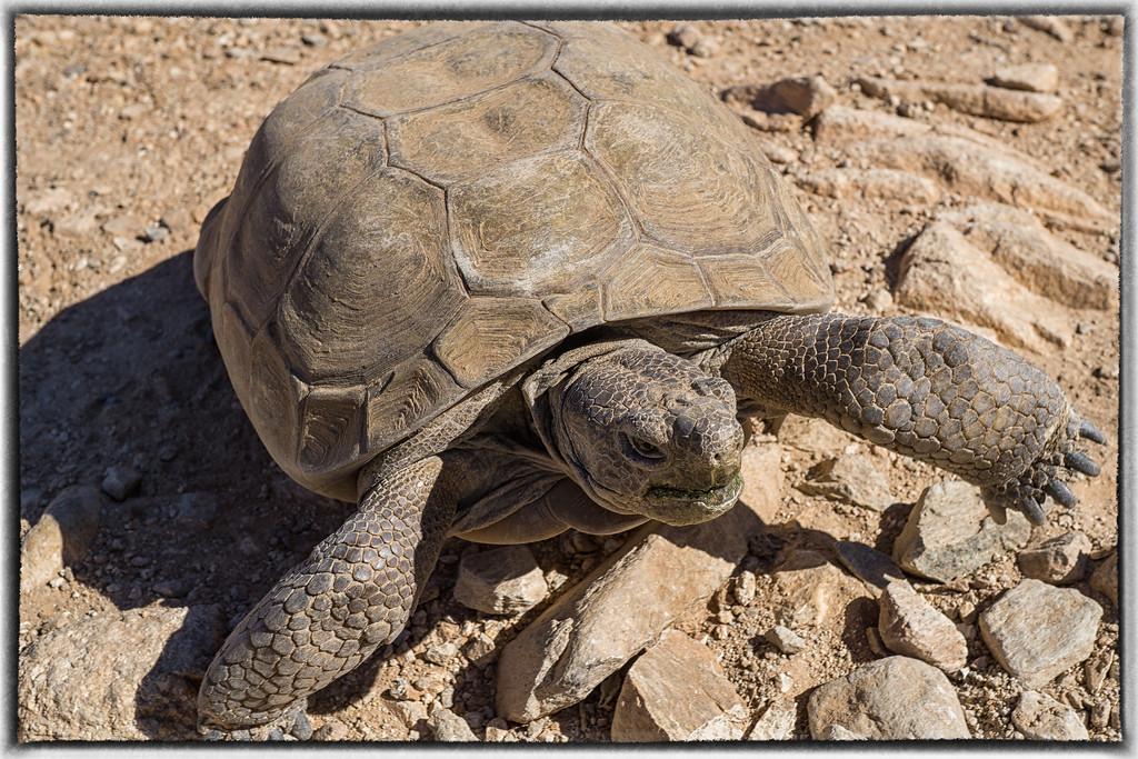 Large Desert Tortoise