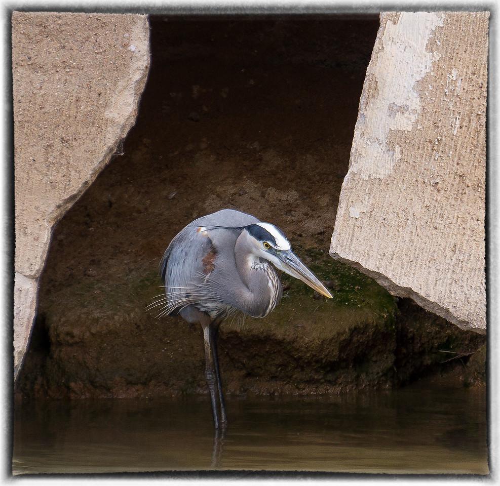 Heron in Arizona Canal