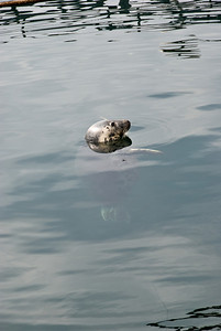A seal in the Harbour at Mallaig