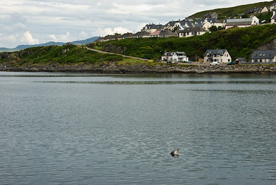 Seal in Mallaig harbour