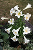 Easter lily with 12 of 13 trumpets in bloom.