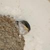 Een jonge zwaluw
